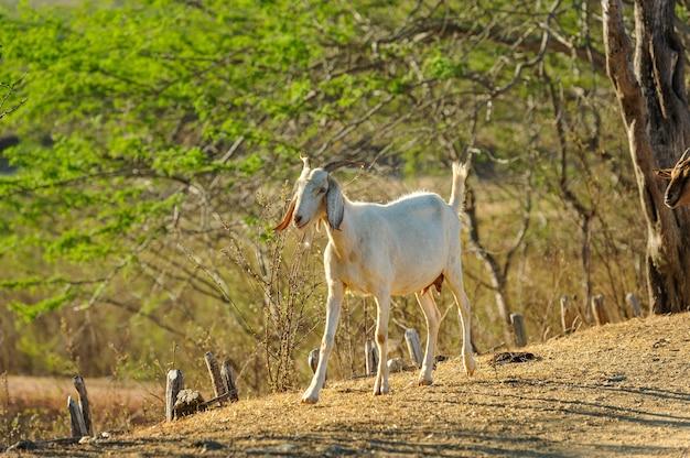 Kozy W Regionie Cariri, Cabaceiras, Paraiba, Brazylia, 1 Listopada 2012 R. Premium Zdjęcia