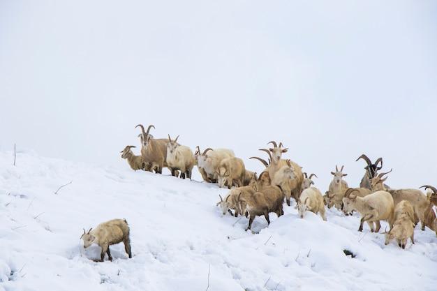 Kozy w śniegu, farma w górach w gruzji