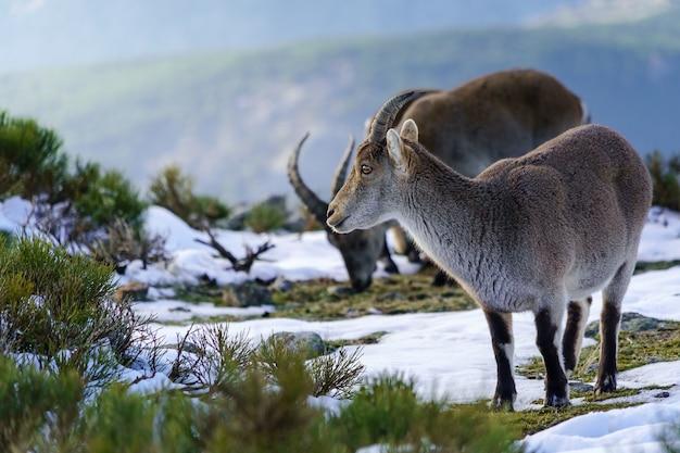 Kozy w śnieżnym krajobrazie na górze madrytu ze słońcem, błękitnym niebem i wysoką górą.