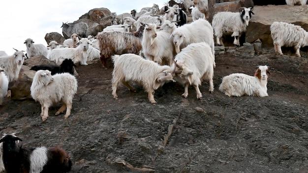 Kozy walczą w górach. wideo 4k.