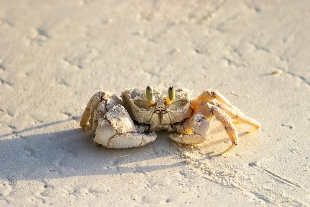 Krab-duch na piaszczystej plaży