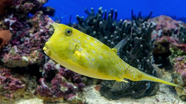 Krab longhorn. żółta ryba na koralu