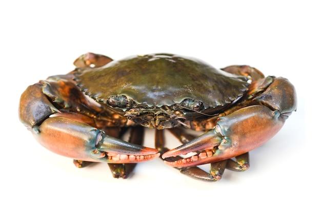 Krab na białym tle, świeże owoce morza ząbkowany krab błotny