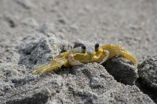 Krab na czarnej plaży, muszli, zwierząt