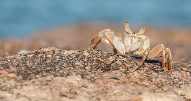 Krab na piaszczystej plaży