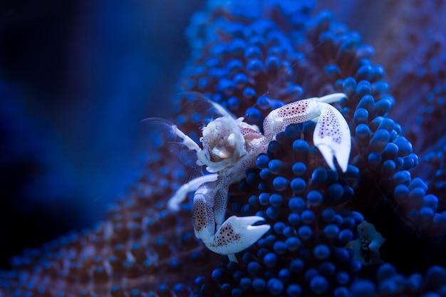 Krab porcelanowy w symbiozie z niebieskim anemonem