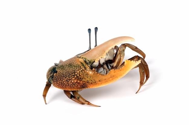 Krab skrzypek zbliżenie na białej powierzchni krab komandos ocypodidae zbliżenie żółty krab skrzypce