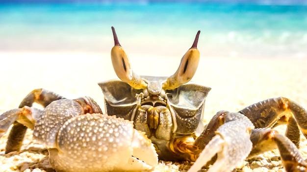 Krab stojący w nadmorskim kurorcie na malediwach.