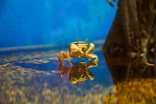 Krab z czerwonymi oczami stoi na powierzchni wody i odbija się w wodzie.