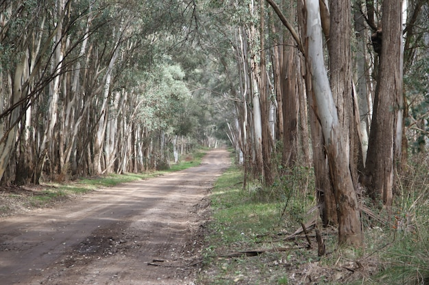 Krajobraz drogi w zalesianiu eukaliptusa