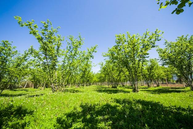Krajobraz i widok plantacji orzechów laskowych, duża grupa drzew
