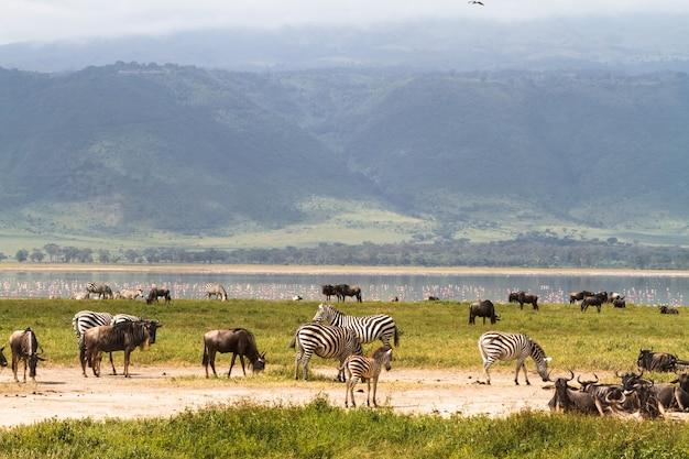 Krajobraz krateru ngorongoro. stada roślinożerców. tanzania, afryka
