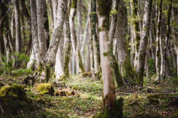 Krajobraz lasu z omszałych drzew