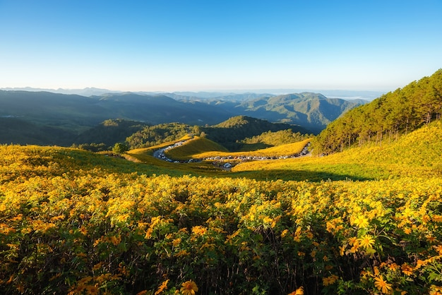 Krajobraz natura kwiat tung bua tong meksykańskie pole słoneczników w sezonie zimowym podczas wschodu słońca w mae hong son niedaleko chiang mai w tajlandii.