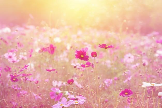 Krajobraz natury i piękny różowy i czerwony kosmos kwiat pola