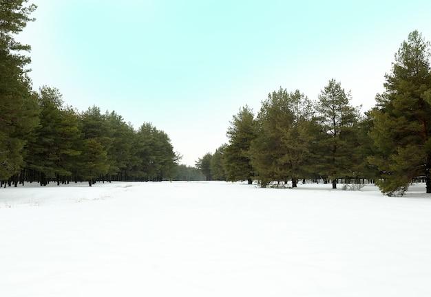 Krajobraz Ośnieżonego Lasu Sosnowego Premium Zdjęcia