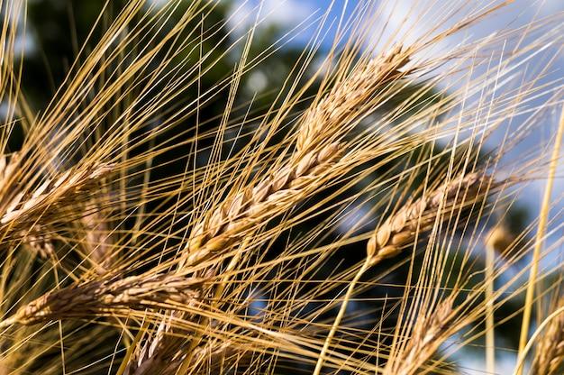 Krajobraz piękna złota dojrzała pszeniczna uprawa