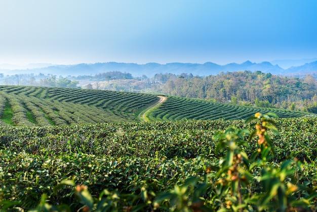 Krajobraz plantacji herbaty o zachodzie słońca