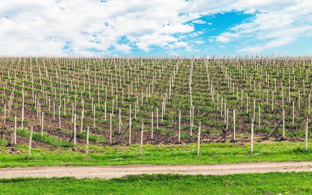 Krajobraz plantacji winnic. pole uprawne
