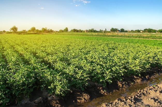 Krajobraz plantacji zielonych krzewów ziemniaczanych. europejskie rolnictwo ekologiczne. uprawa żywności w gospodarstwie.