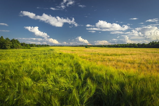 Krajobraz pola pszenicy zielony