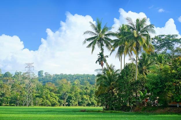 Krajobraz pola ryżowego z drzewami kokosowymi