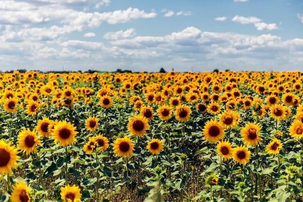 Krajobraz pola słonecznika.