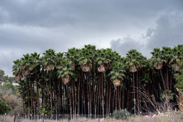 Krajobraz sabal palms pod zachmurzonym niebem otoczony trawą w ciągu dnia