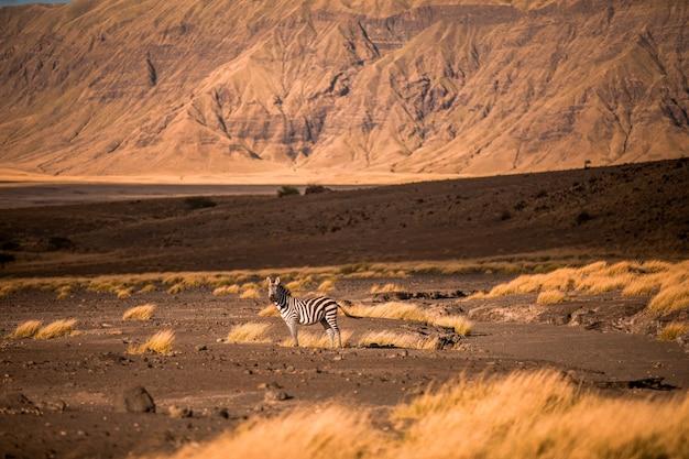 Krajobraz sawanny tanzanii ze świętą górą lengai