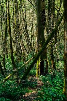 Krajobraz - ścieżka w cisowo-bukszpanowym zagajniku z dziuplastym drzewem