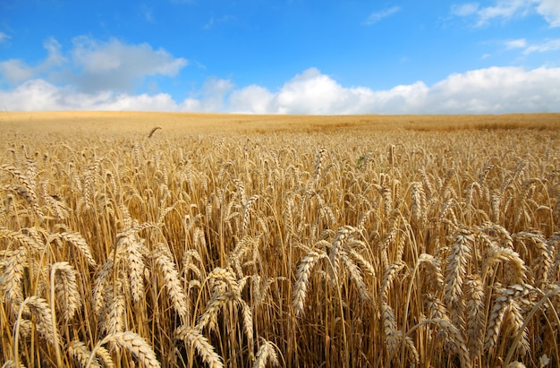 Krajobraz z ciepłymi barwionymi żółtymi uprawami pszenicznymi na słonecznym dniu na wiejskiej ziemi uprawnej.