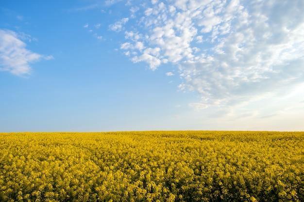 Krajobraz z kwitnącym żółtym rzepakowym polem uprawnym i błękitnym jasnym niebem w wiośnie.
