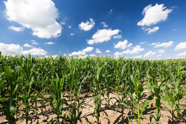 Krajobraz z niebieskim niebem i białymi chmurami nad polem kukurydzy, lato