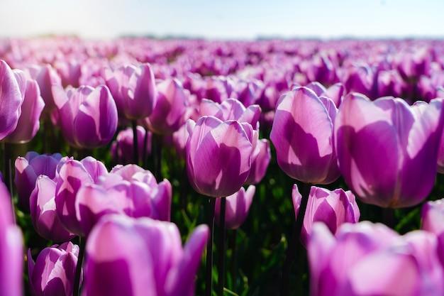Krajobraz z pięknym polem tulipanów w holandii na wiosnę. wielobarwne holenderskie pola tulipanów w holenderskim krajobrazie holland. koncepcja wakacji podróży.