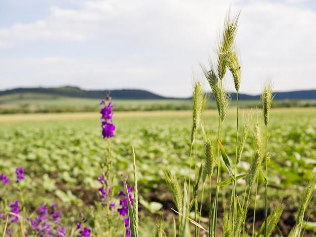 Krajobraz z pięknymi fioletowymi kwiatami