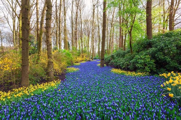Krajobraz z pięknymi kwitnącymi kwiatami w słynnym parku keukenhof
