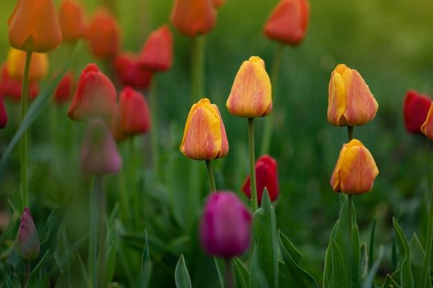 Krajobraz z polem tulipanów. wielobarwny pole tulipanów. pola tulipanów na wiosnę. mix kolorów tulipanów. mieszanka kwiatów tulipanów w ogrodzie