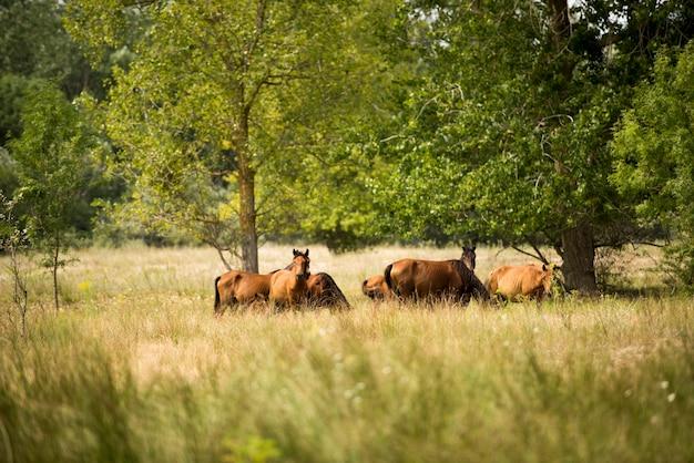 Krajobrazowa fotografia dzicy konie w letea lesie