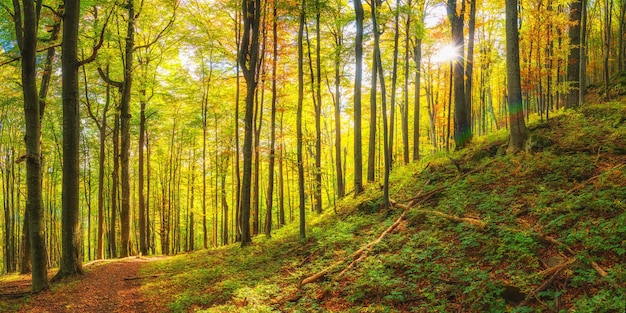 Krajobrazowa panorama ze słonecznym jesiennym lasem ze złotymi liśćmi
