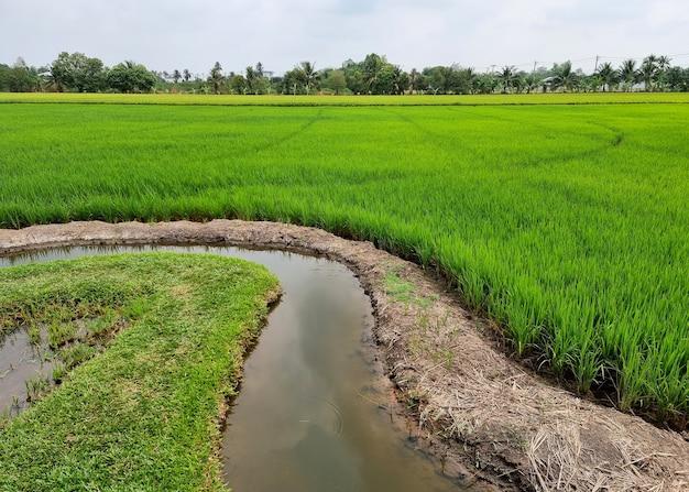 Krajobrazowe pole ryżowe z bruzdą nawadnianie na tle chmur i błękitnego nieba