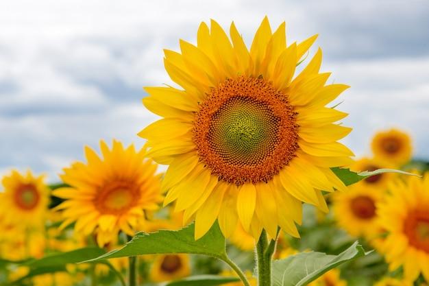 Krajobrazowe pole słoneczników