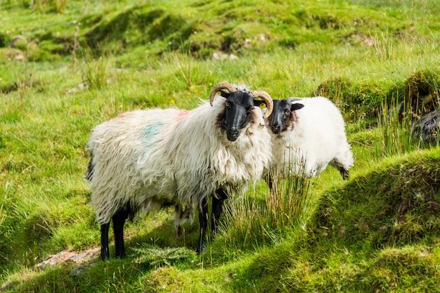 Krajobrazy irlandii. wypas owiec, connemara w hrabstwie galway