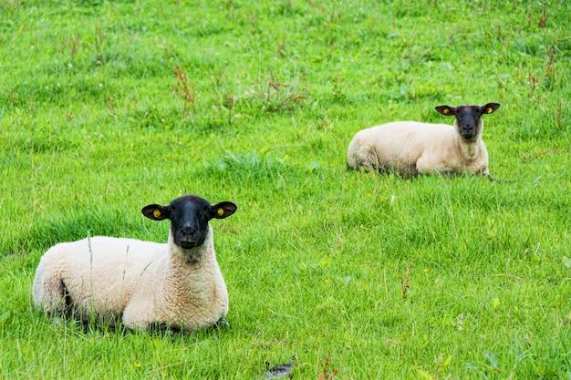 Krajobrazy irlandii. wypas owiec, hrabstwo galway
