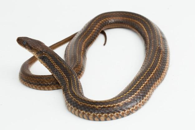 Kratka keelback fowlea piscator azjatycki wąż wodny izolowany na białym tle