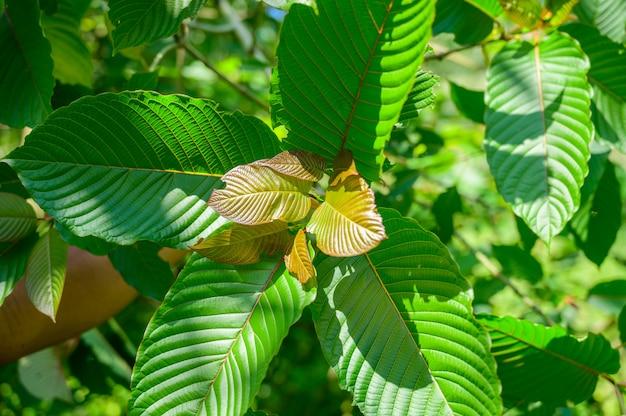 Kratom (mitragyna speciosa) zielony jest rodzajem leku