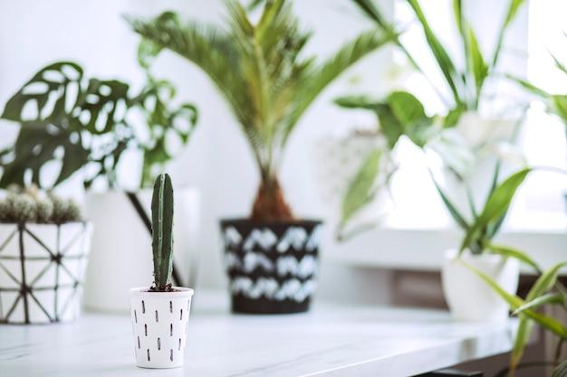 Kreatywna kompozycja w skandynawskim stylu ze skupionymi malutkimi kaktusami w hipsterskiej doniczce, palma i rośliny w klasycznych i hipsterskich doniczkach w tle. koncepcja miłości roślin.