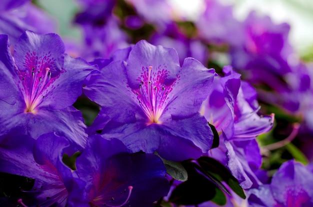 Kreatywne niebieskie drzewo kwiat azalii kwitnące w ogrodzie botanicznym w kijowie. wiosna kwiatowy tło