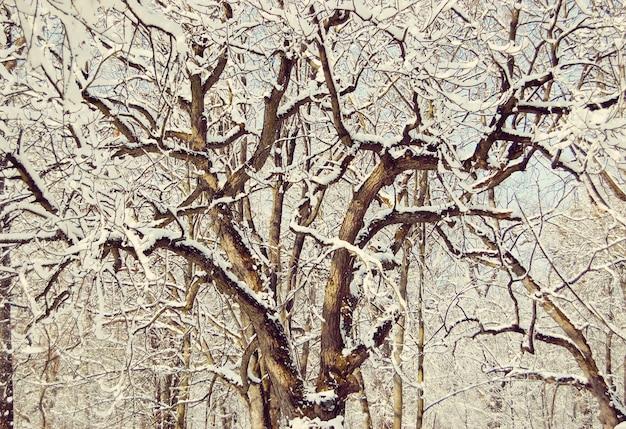 Kręte gałęzie drzew pokryte śniegiem