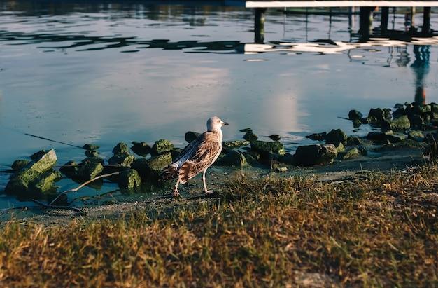 Krok ptaka mewy rzecznej nad brzegiem rzeki z omszałymi kamieniami