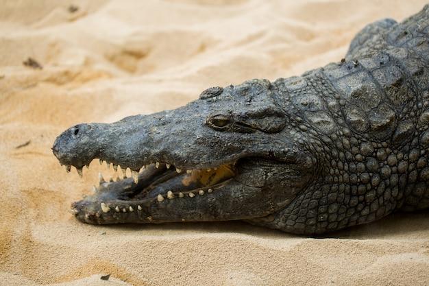 Krokodyl chodzenie po piasku
